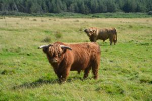 scottish cows