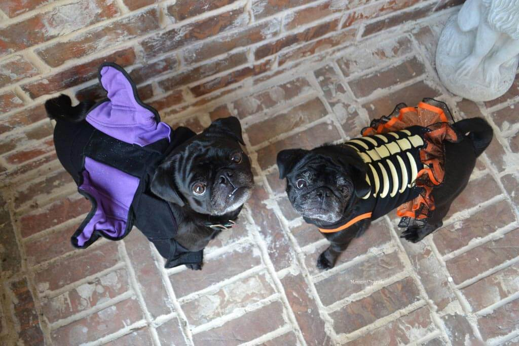 Pugs dressed up for Halloween