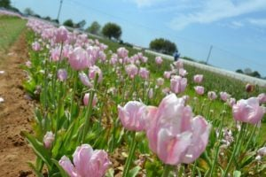 "Texas-Tulips is ""Arboretum-lite"""