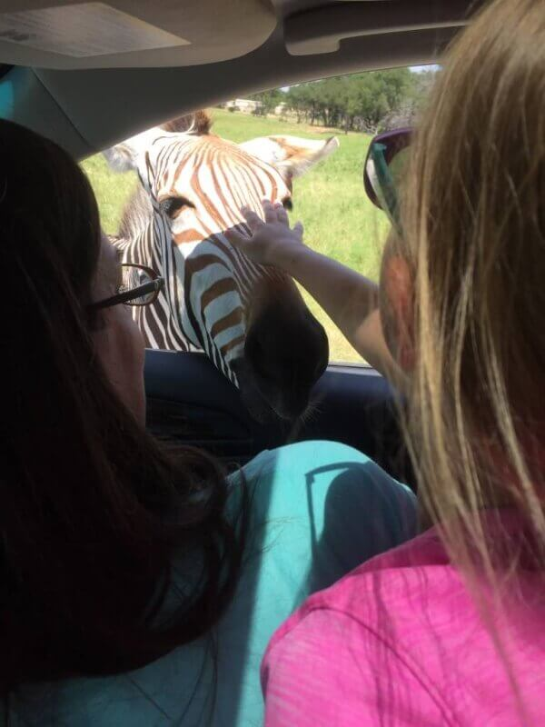 petting the zebra at fossil rim wildlife center