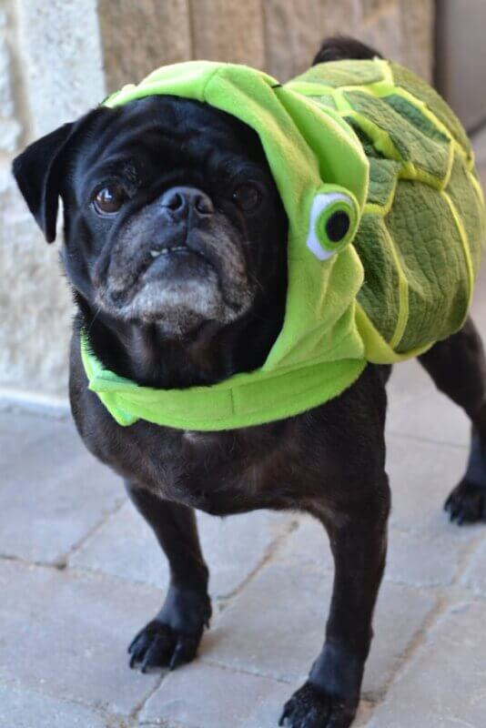 pug dressed in turtle costume from petsmart