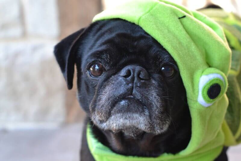 closeup pug in petsmart turtle costume