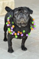 Pugging Out for Pug-O-Ween and World Pug Day