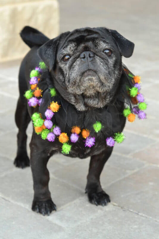 Pugs get their day