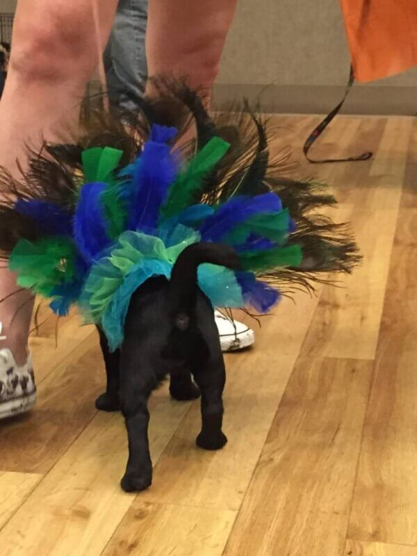 princess peacock at pug-o-ween