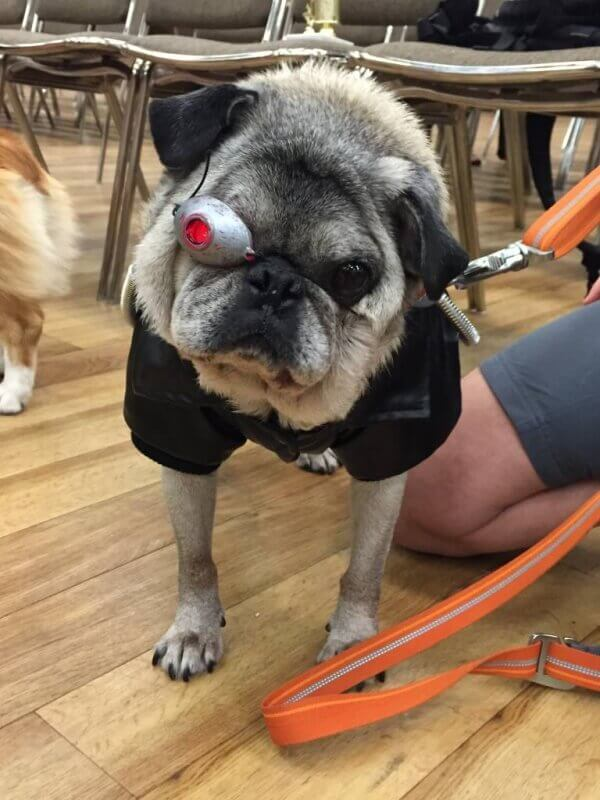 the puganator at pug-o-ween