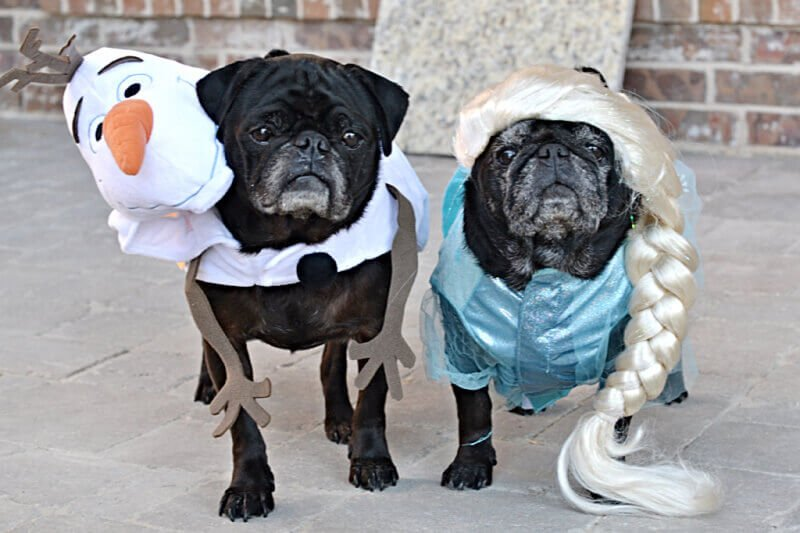 Frozen costumes on pugs
