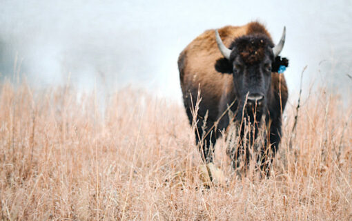 Bison at Tallgrass Prairie Preserve